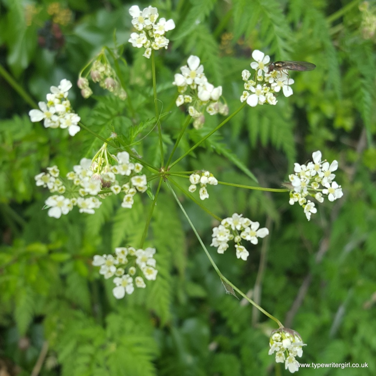 cow parsley2