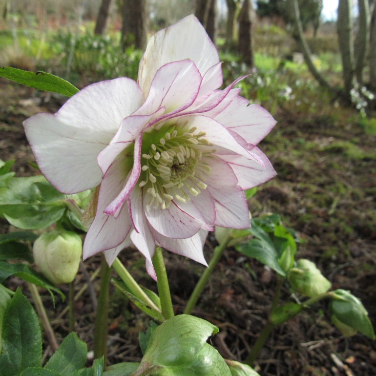 hellebore flowers in wood
