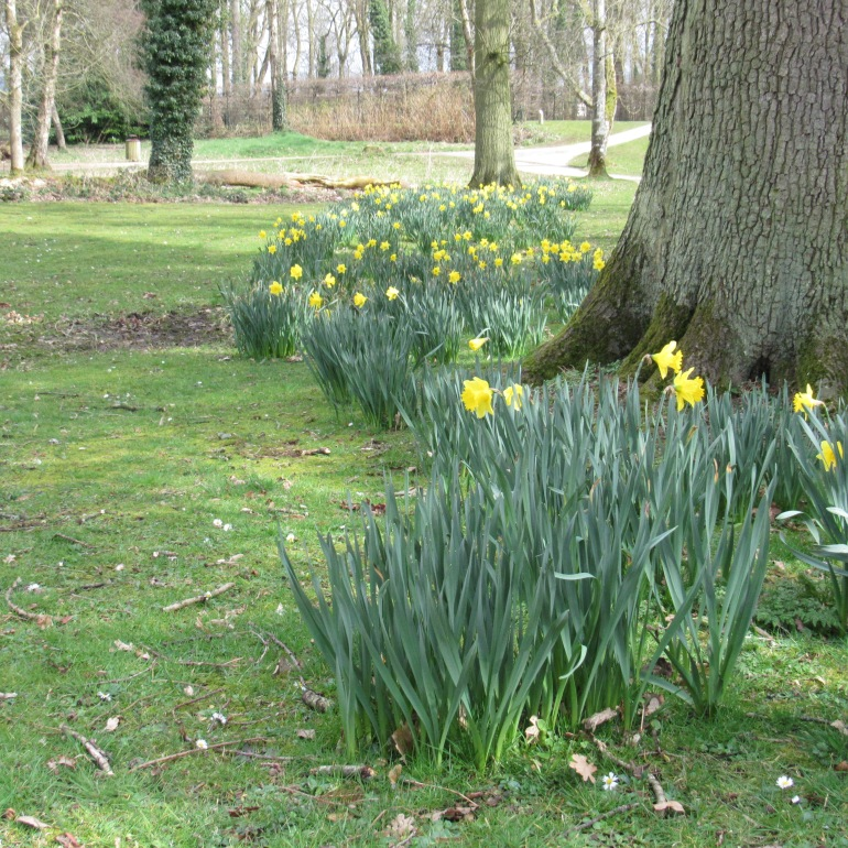 a cluster of daffodils