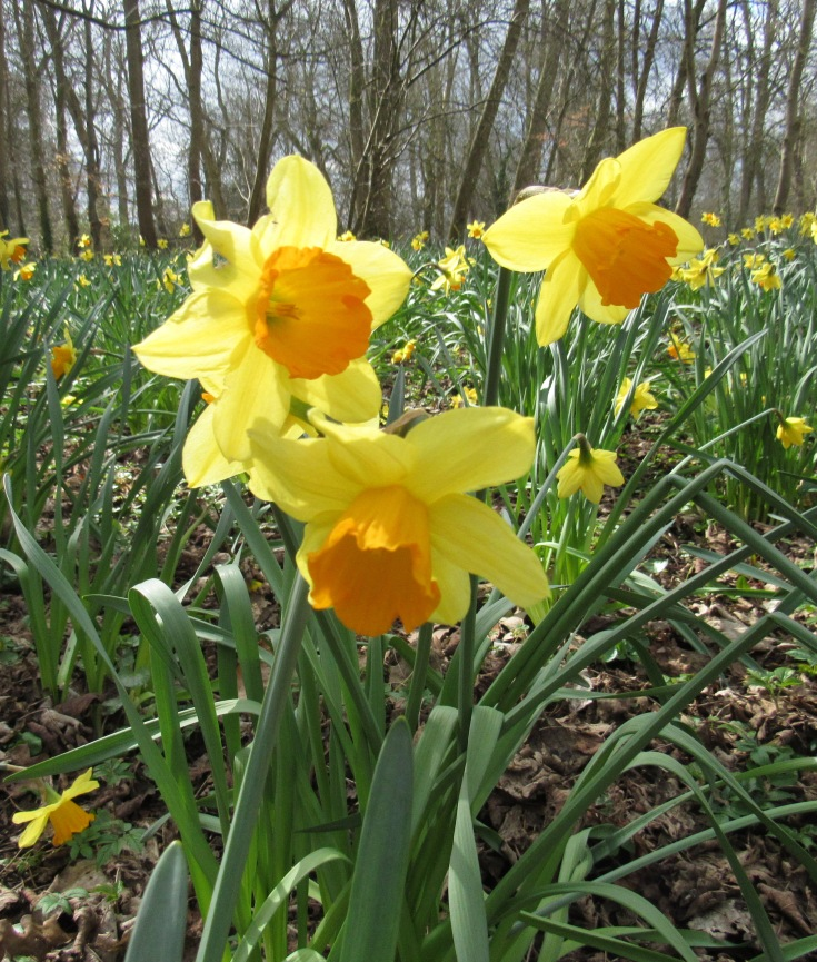 a trio of daffodils