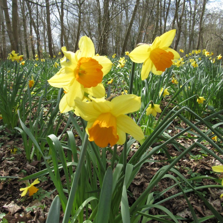 a trio of daffodils