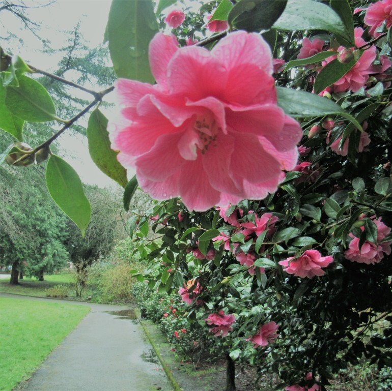 camellia flowers in spring