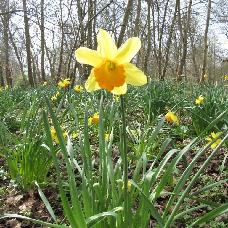 daffodil in the sunlight