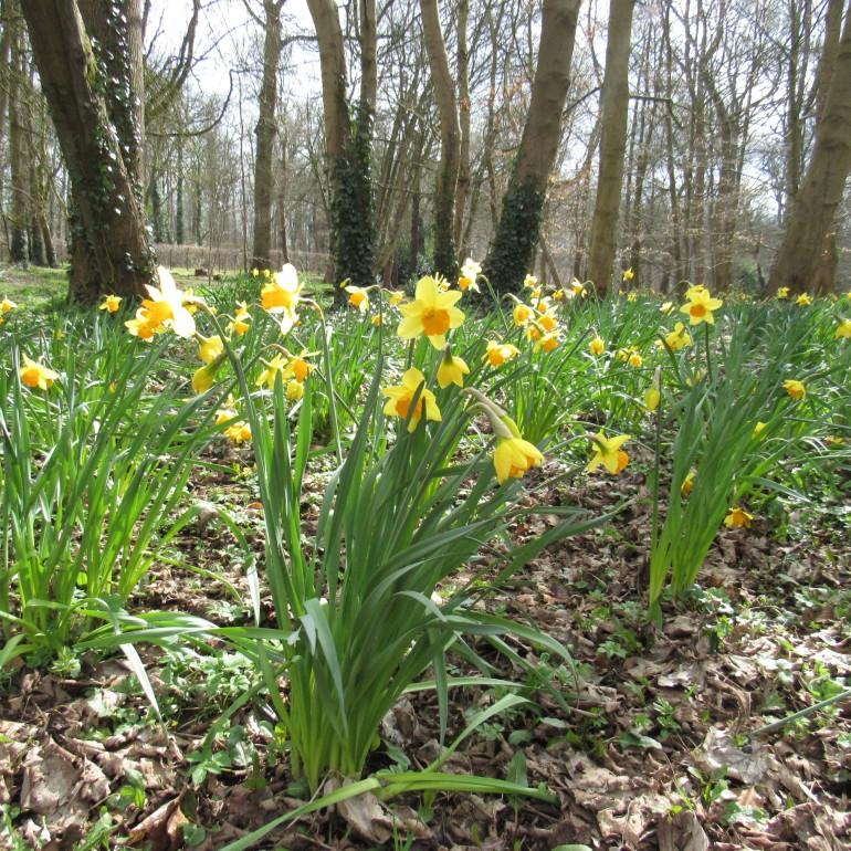 daffodils in the sunlight