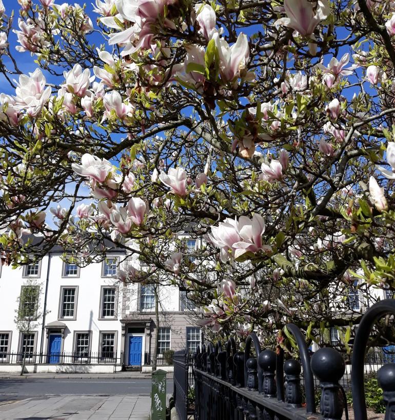 magnolia tree 8