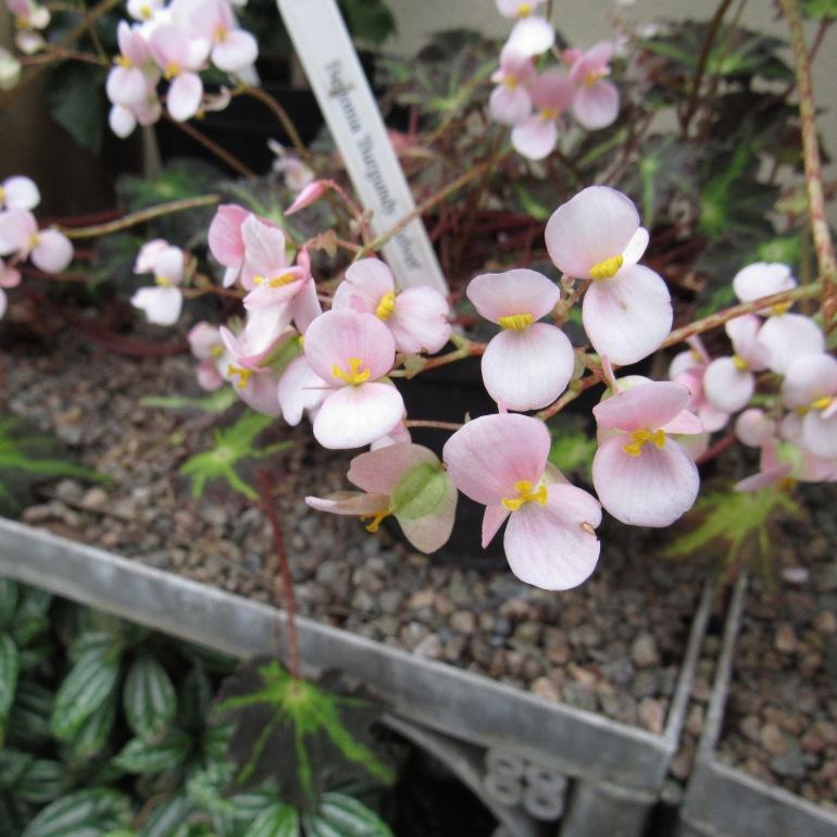 bergonia plant