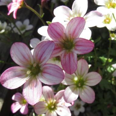 saxifraga plant