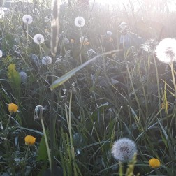 dandelions 1