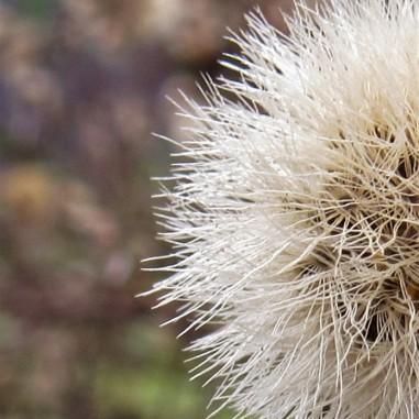 half seedhead