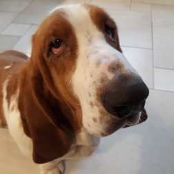 Boris the Basset Hound