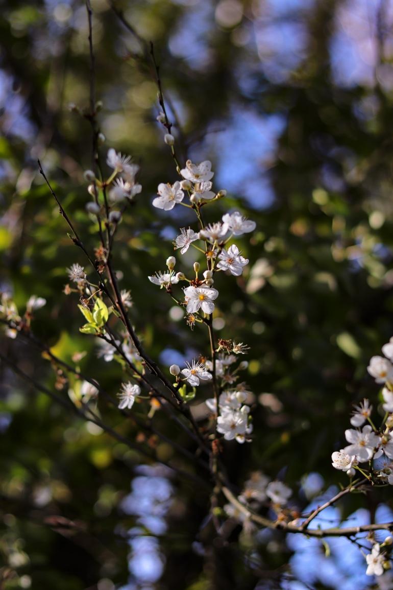 blackthorn tree blossom